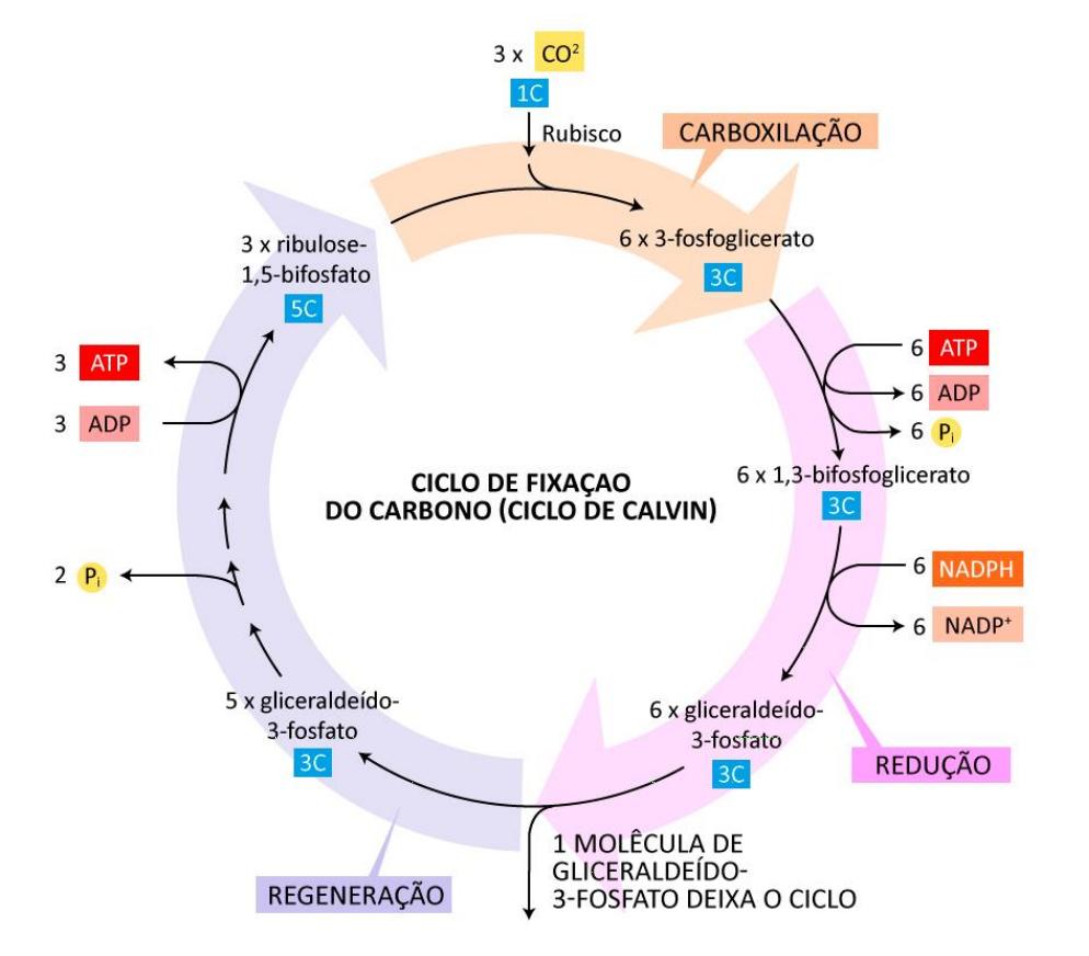 Ciclo de Calvin: Esquema mostrando as vias metabólicas principais que possibilitam que moléculas orgânicas sejam produzidas a  partir do CO2 (Adaptada de Alberts et al., 2017)