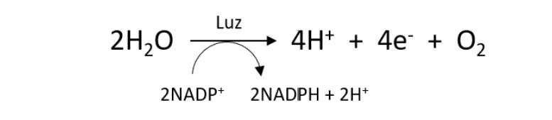 Fotossíntese: fase clara ou etapa fotoquímica